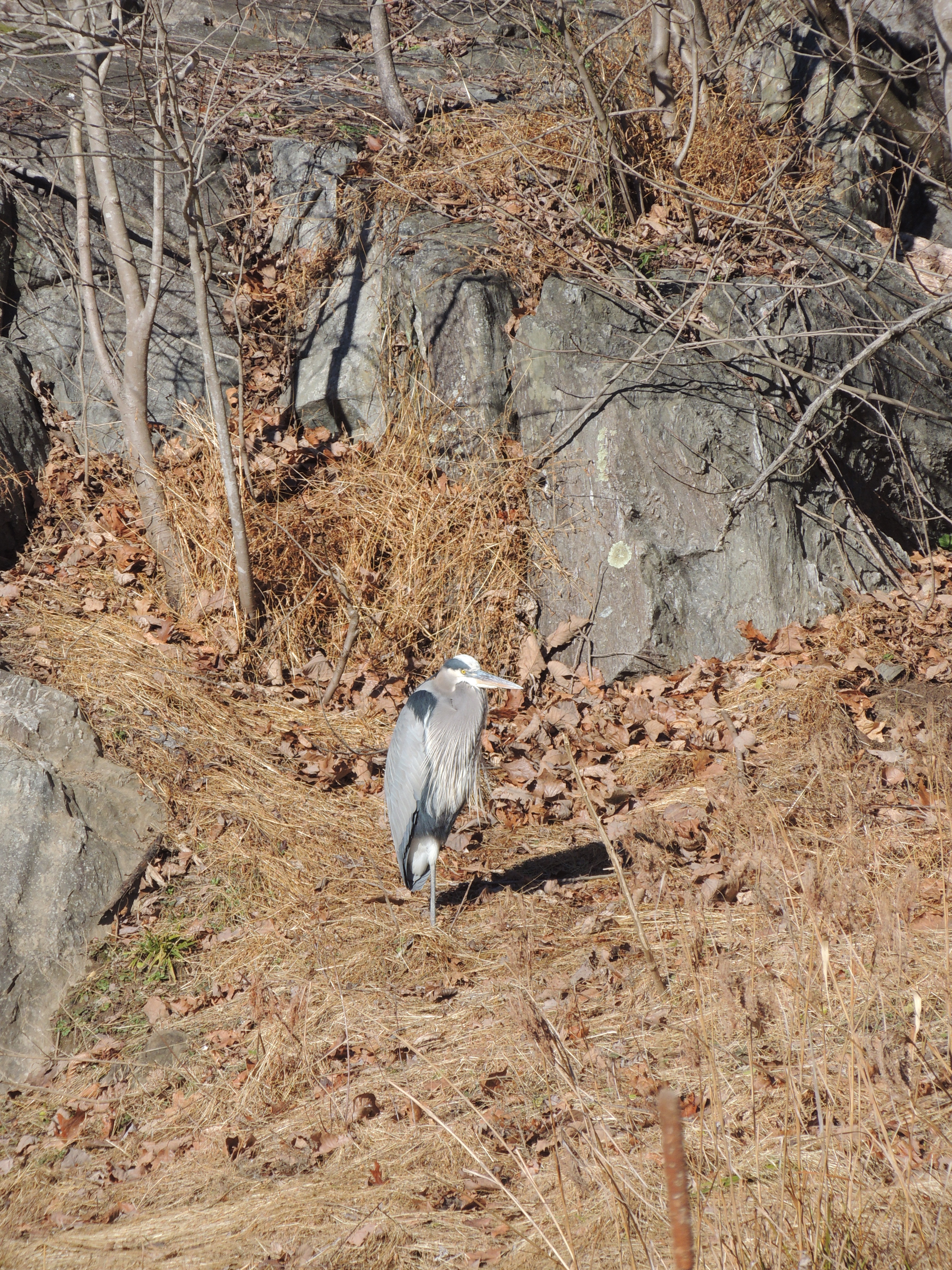 Great blue heron standing on one leg, with surrounding rocks of the same color.
