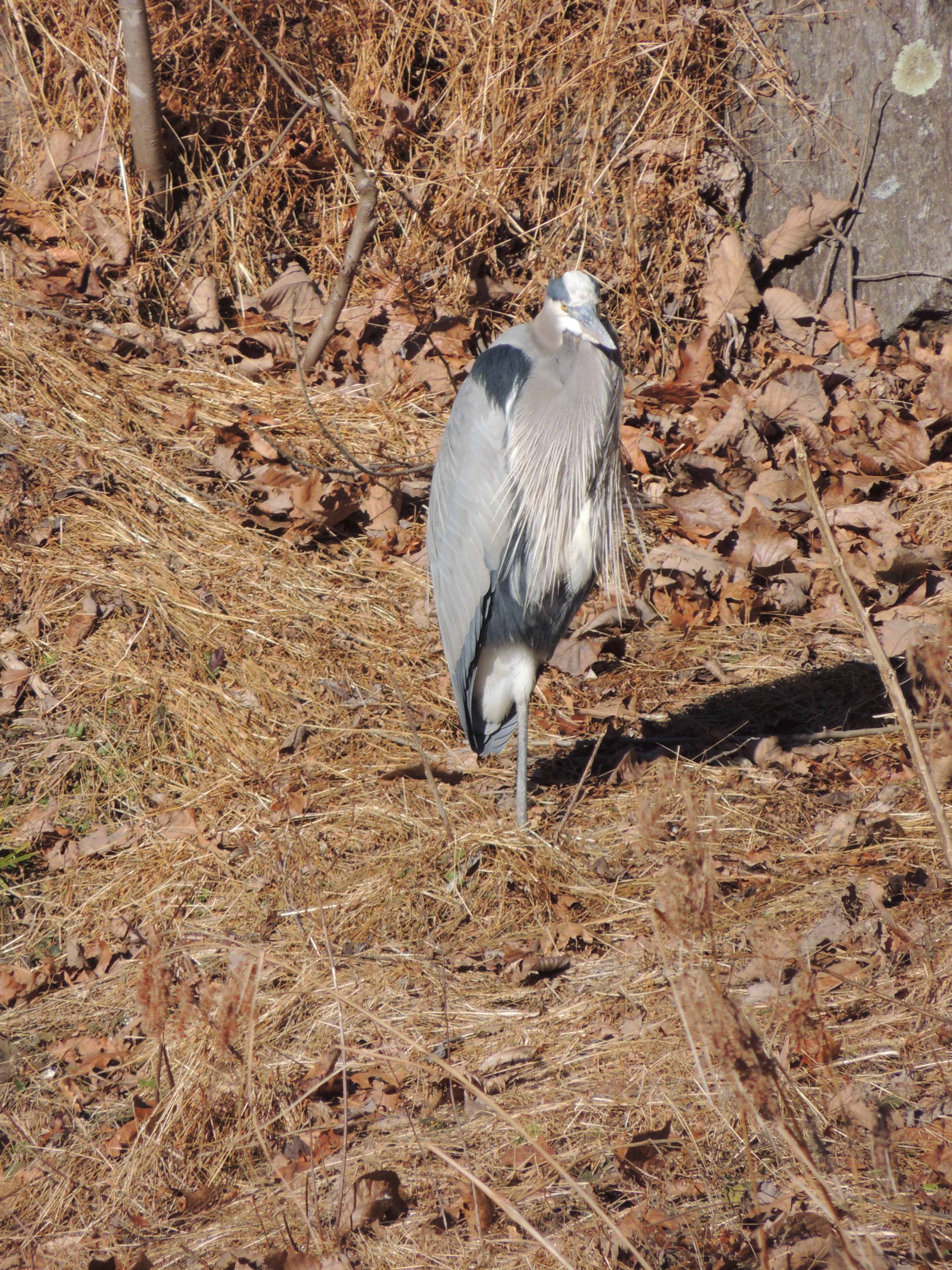 Great blue heron, standing on the shore of the C & O Canal on one leg, observing the photographer.