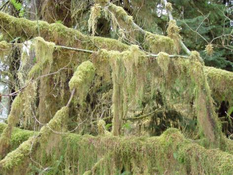Moss in the Hoh Rain Forest, trailing from the branches.