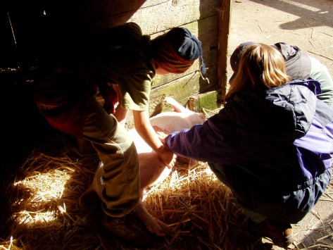 three students patting a sleeping pig