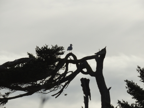 Gull in wind blown tree.