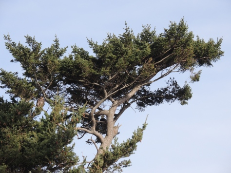 Adult and juvenile eagles high in a tree.