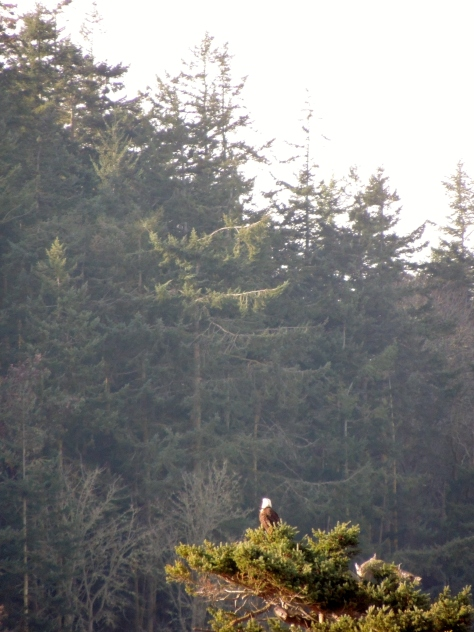 Eagle on treetop, in front of Fort Worden bluff.