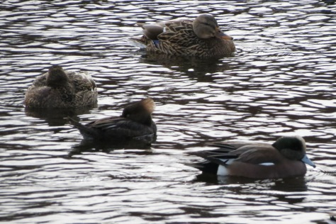 four ducks on a cold pond: a mallard and a hooded merganser sleeping, a wigeon and another mallard