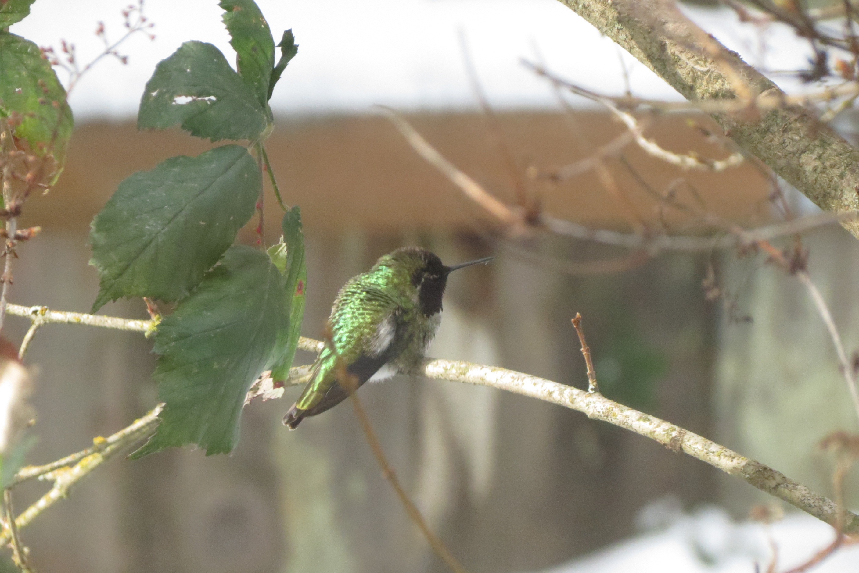 Anna's hummingbird sitting on a branch, with green iridescent feathers.