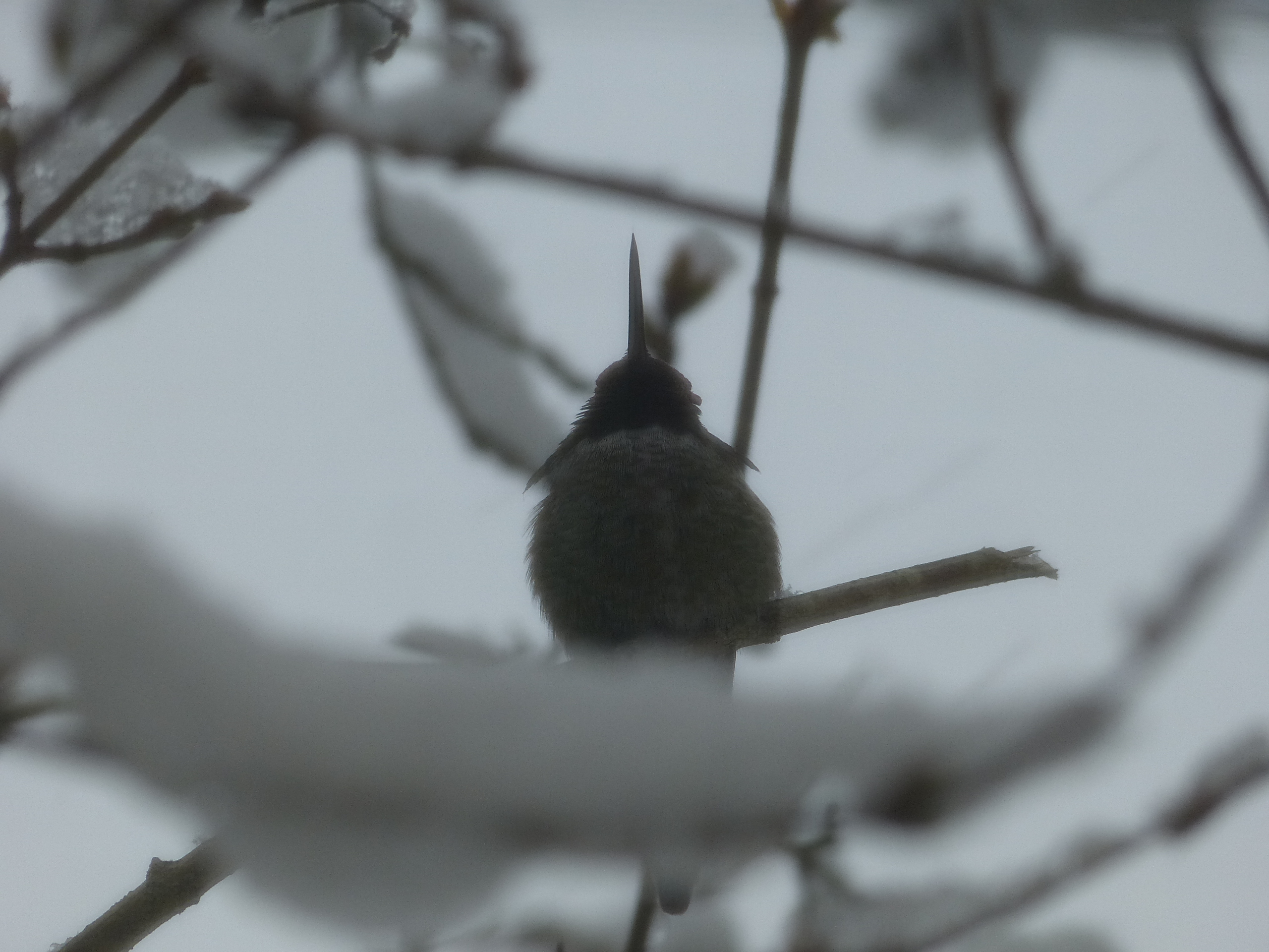 Hummingbird in snowy bush.