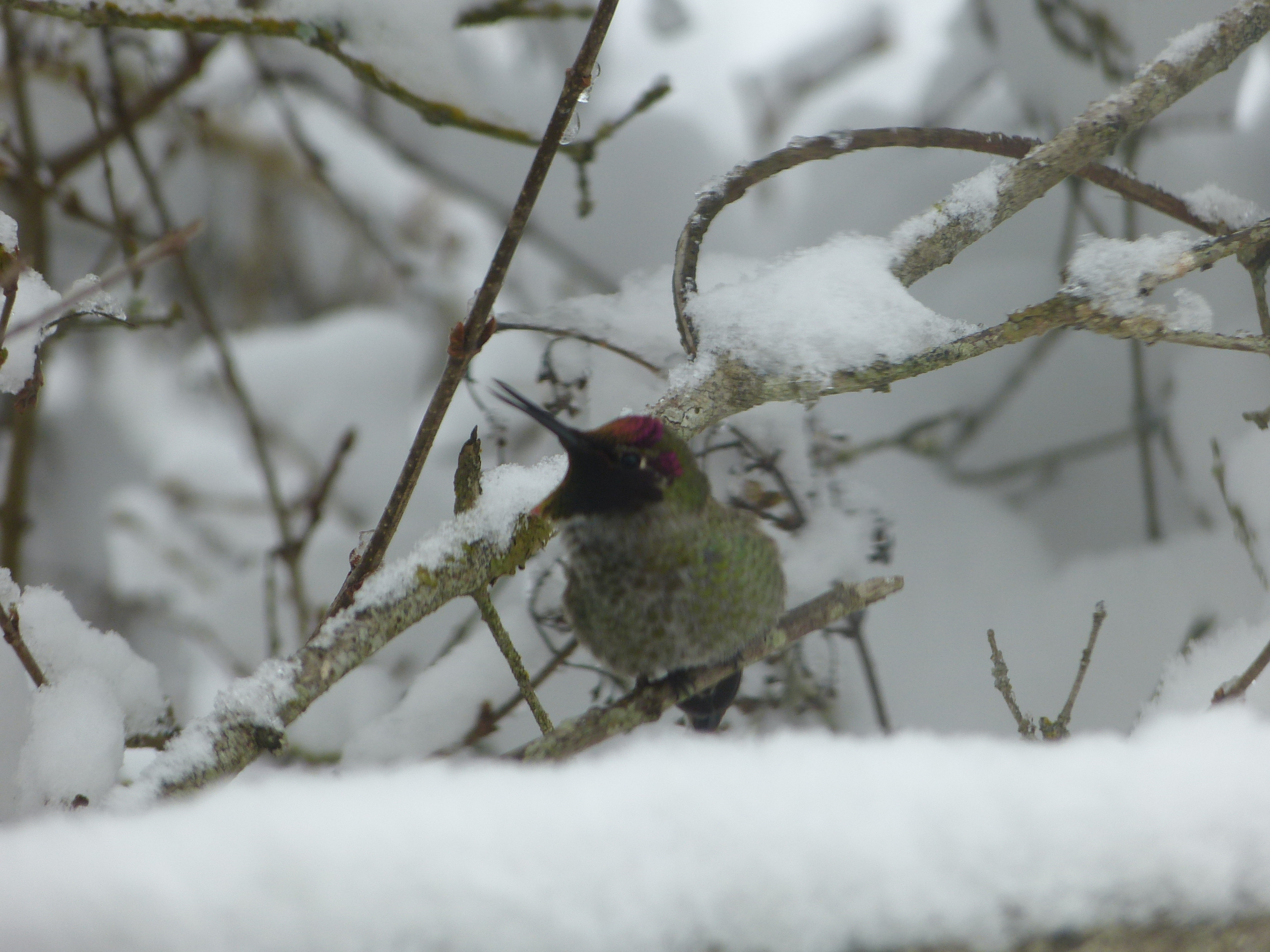 """Tictoc"", a hummingbird, in a snowy lilac."