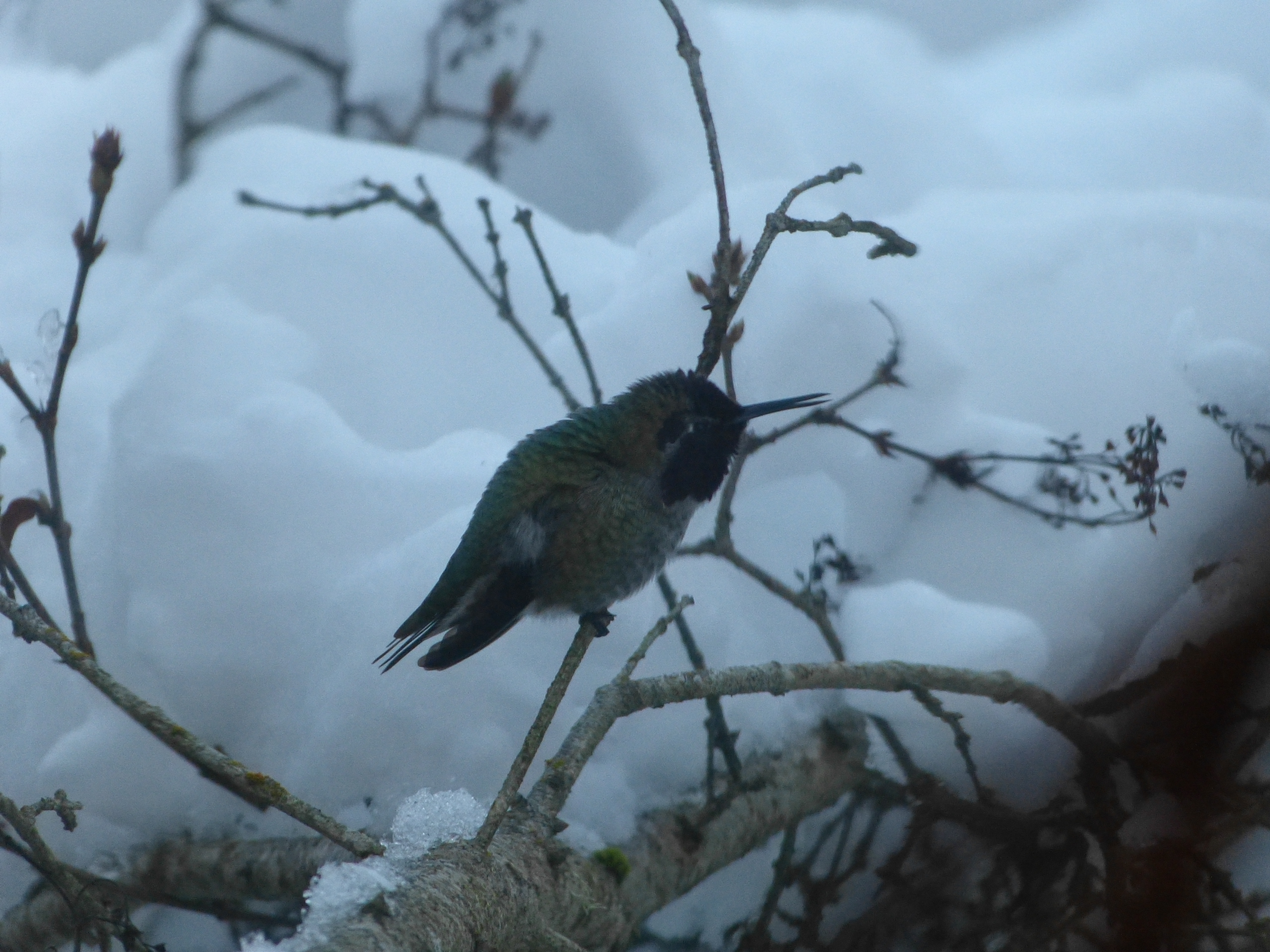 Anna's hummingbird on a snow covered lilac bush
