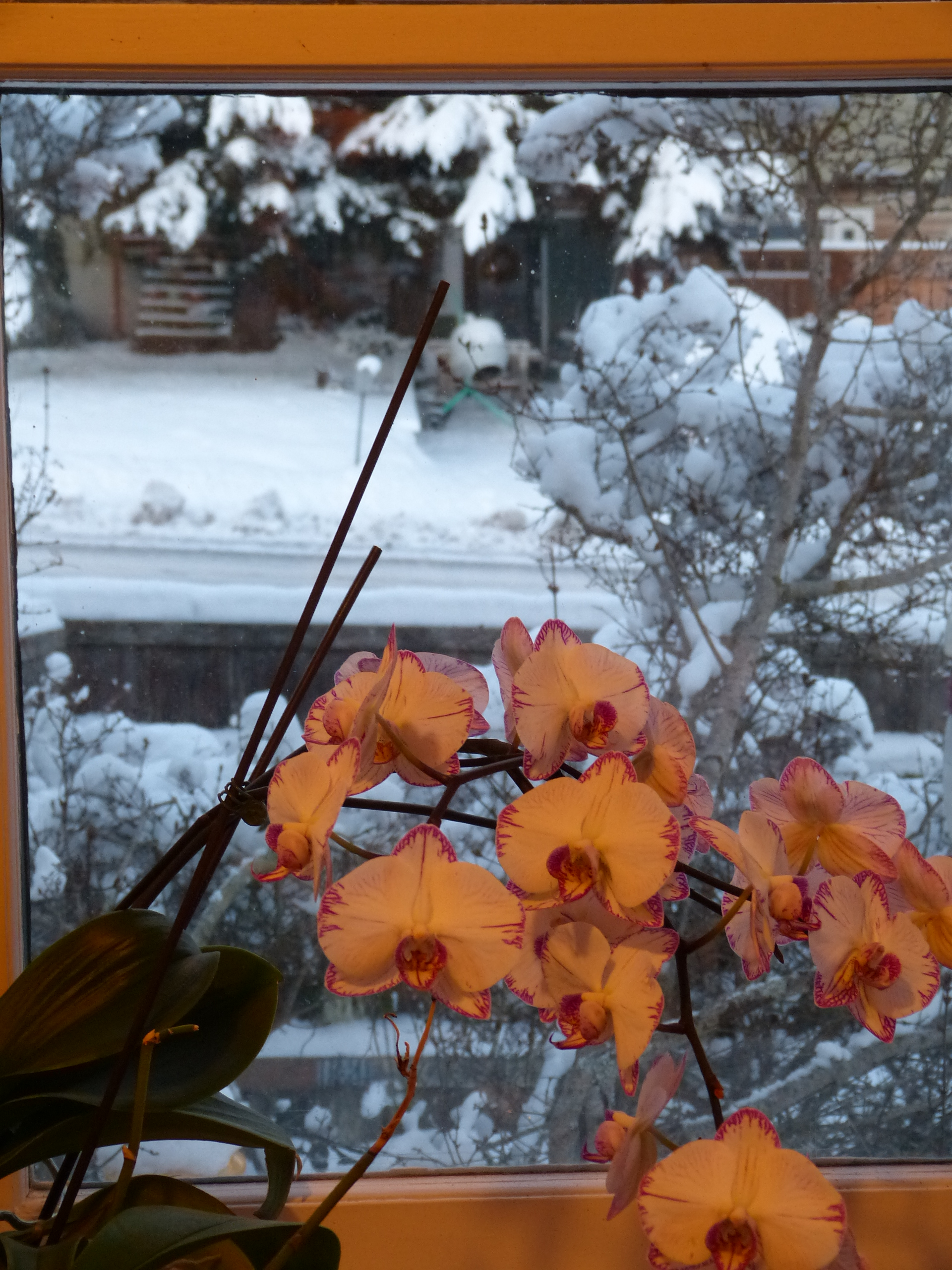 white orchids with pink throats in front of a snowy window