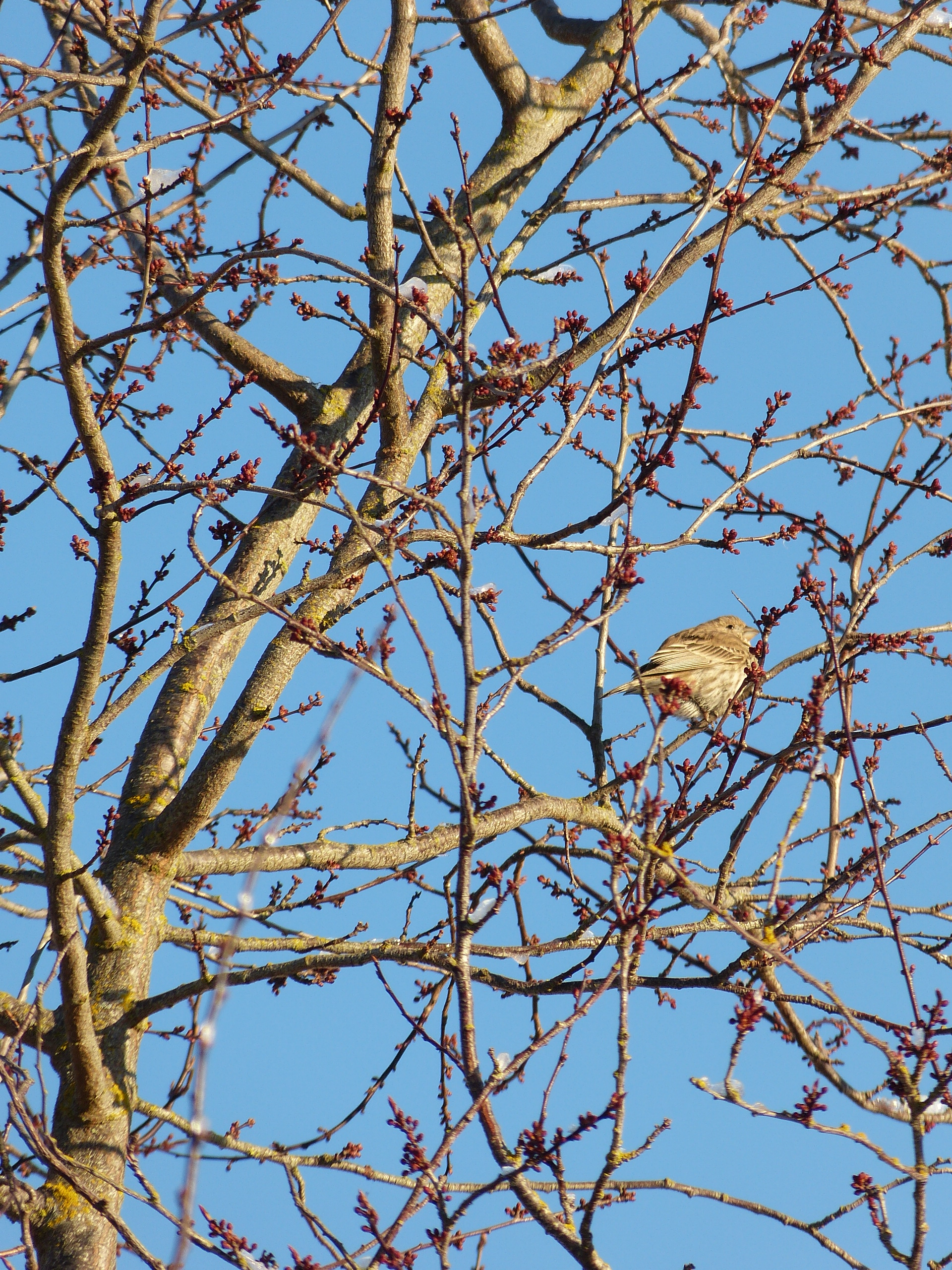 Spring buds in the ornamental plum, with a bird.