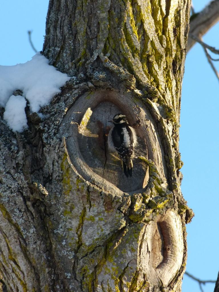 Fluffed up woodpecker on a tree.