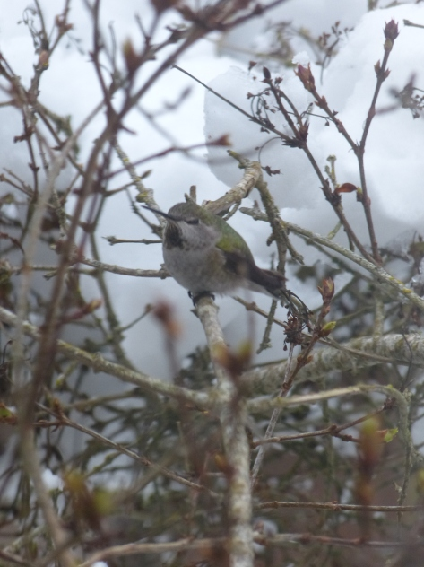Female Anna's hummingbird sitting in a snowy lilac bush.