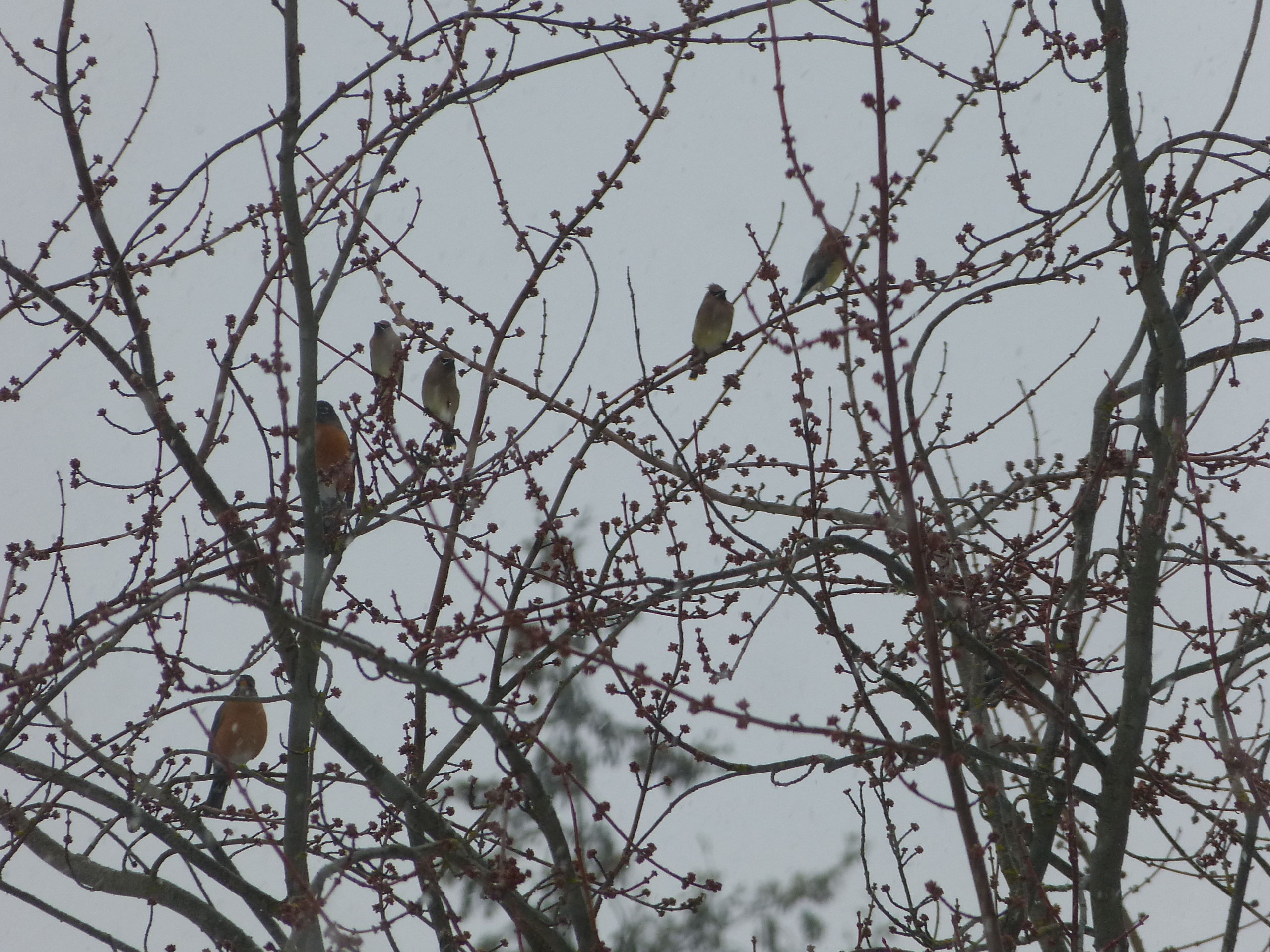 Cedar waxwings join a flock of robins.