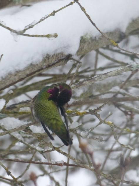 hummingbird grooming feathers on back