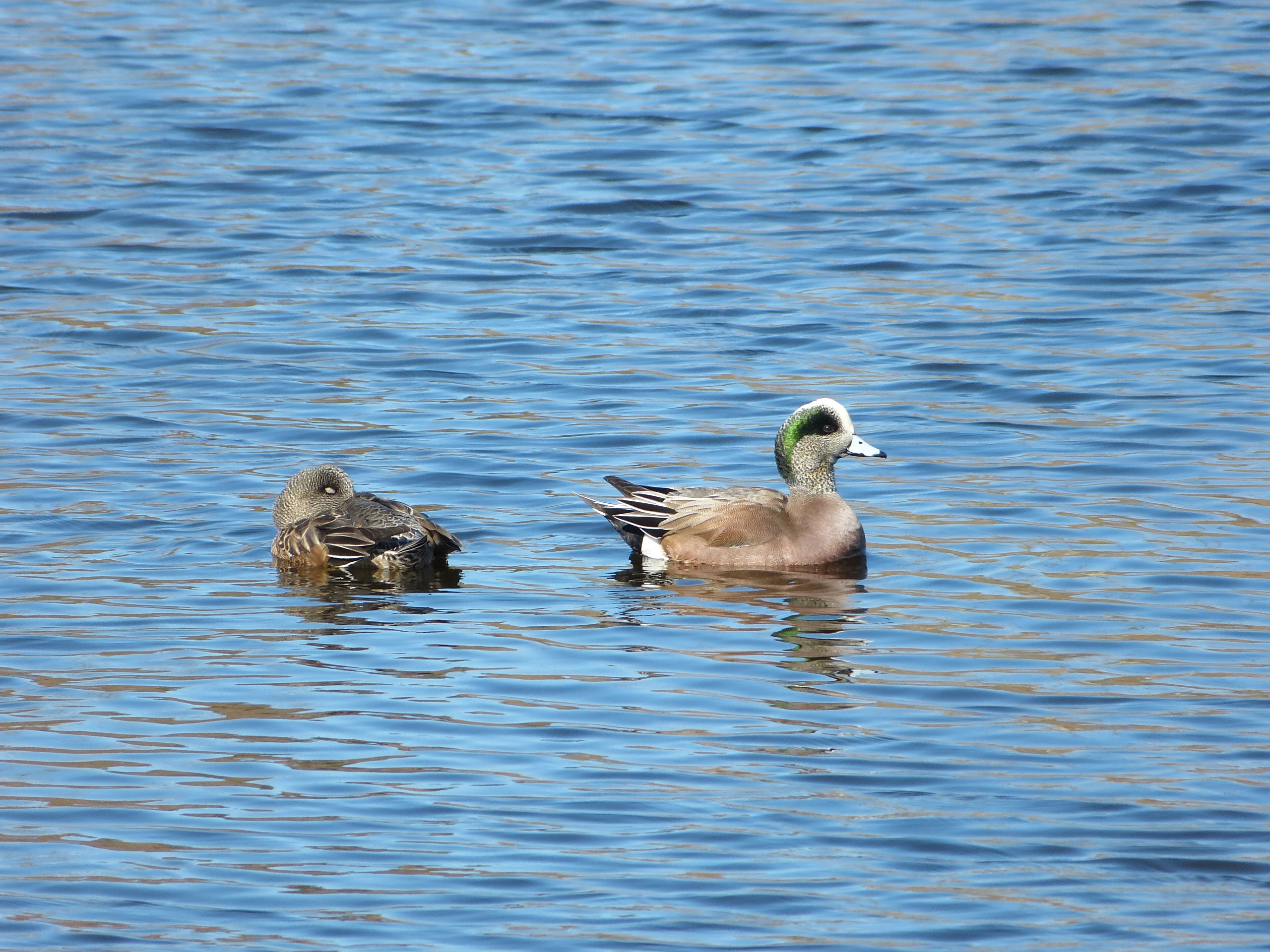 A pair of American wigeons, on the water, female asleep and male awake.